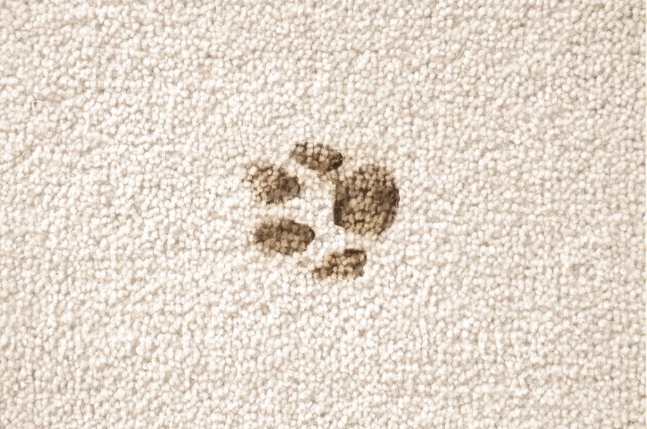 Muddy Paw Prints becoming a hassle to remove from the carpet? BISSELL Pawsitively Clean gives the top steps to removing those muddy paw prints