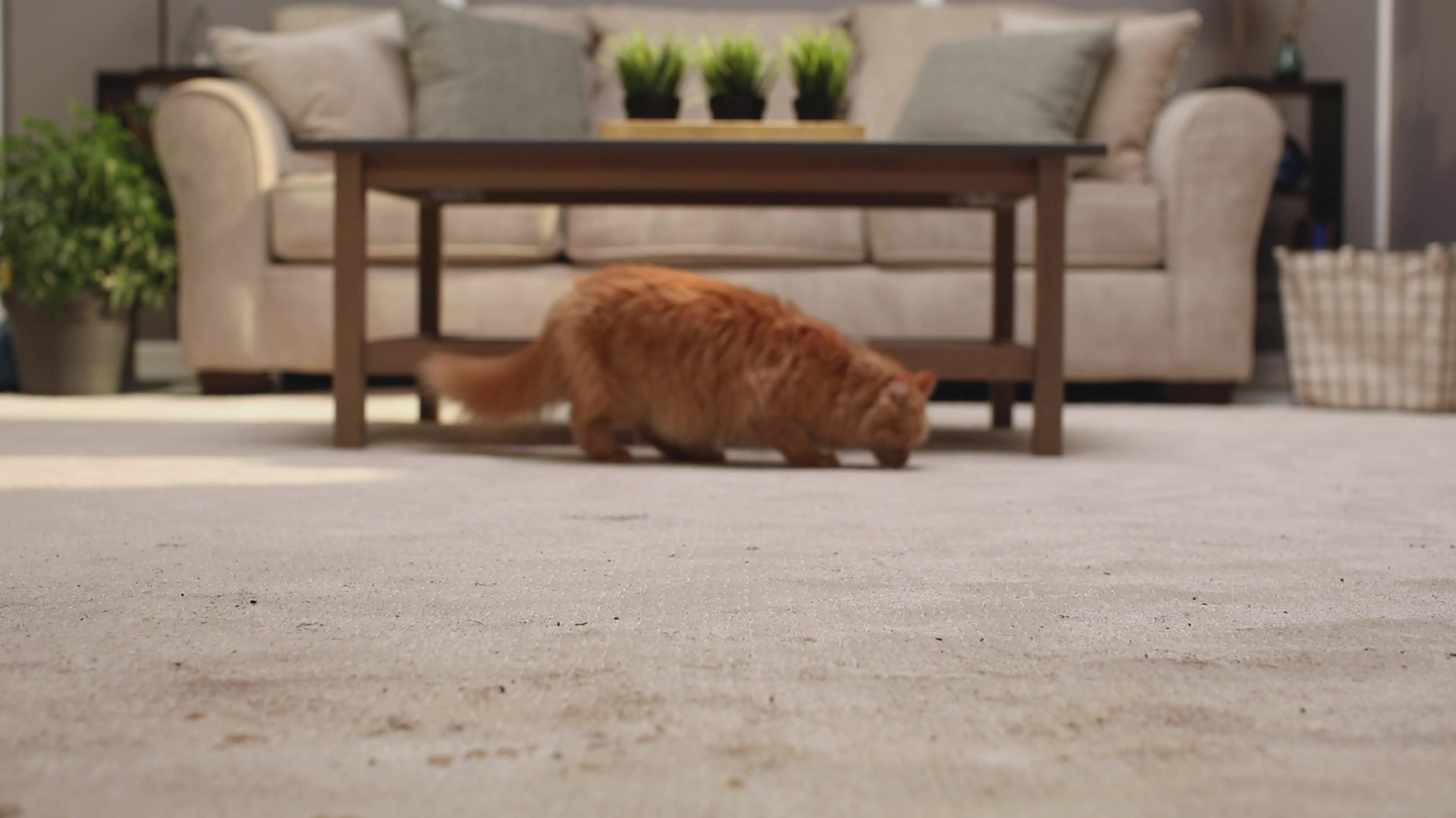 Cat sniffing dirty carpet